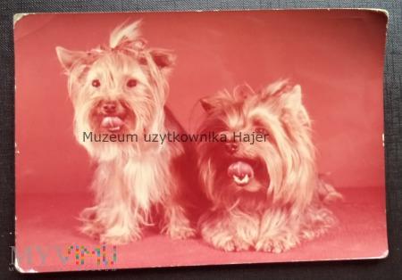 Terier szkocki pies - Kartka pocztowa