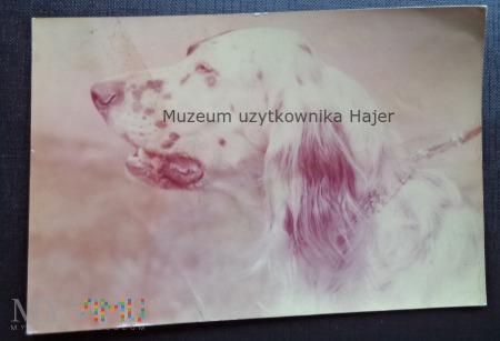 Seter angielski pies - Kartka pocztowa