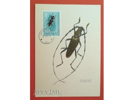 Duże zdjęcie 1963 kozioróg dębosz karta Maximum Maksimum