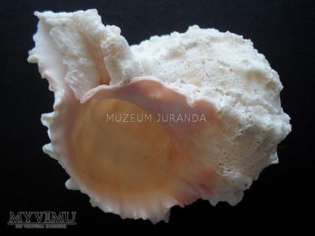 Muszla 62