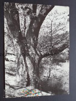 Duże zdjęcie TUCHOLA - Dąb w Woziwodzie nad Brdą