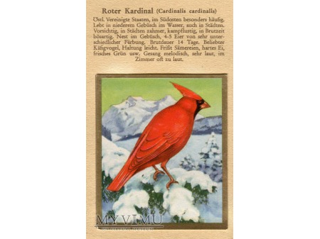 KARDYNAŁ SZKARŁATNY Cardinalis cardinalis nr 74