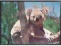 Niedźwiadek workowaty koala Australia