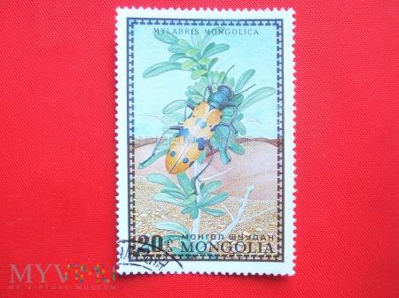 Chrząszcz Mylabris mongolica