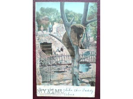 1907 Niedźwiedź na drzewie CHICAGO Lincoln Park