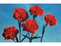 Zobacz kolekcję Flora - kartka pocztowa