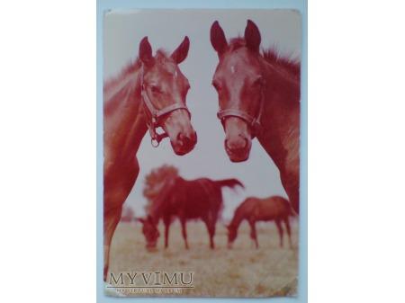Konie Koń OCHABY stadnina koni PRUCHNA