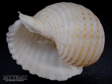 Muszla 71