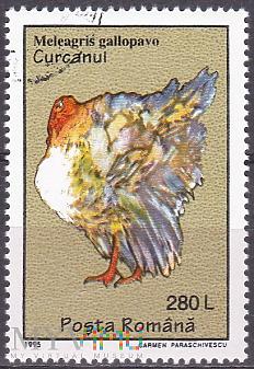 Domesticated Turkey (Meleagris gallopavo)