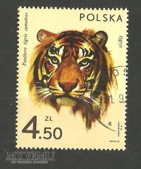 Duże zdjęcie Polska -Tygrys