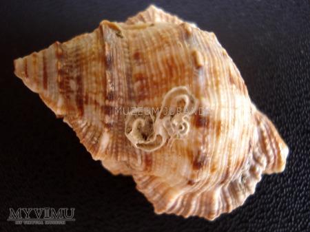 Muszla 83