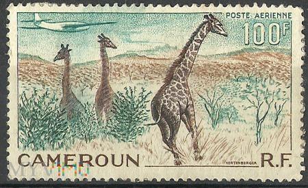 Żyrafy.