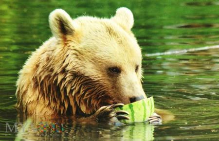 Duże zdjęcie Niedźwiedź