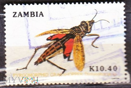 Pyromorphid Grasshopper (Dictyophorus sp.)