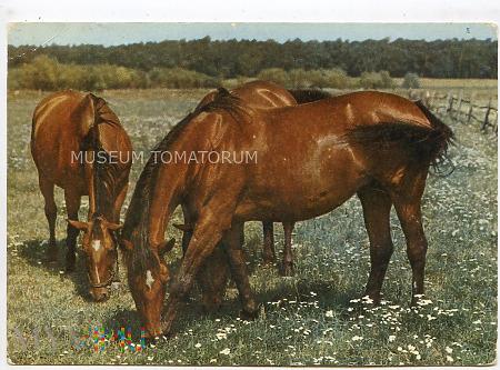 Konie - Racot - Stadnina