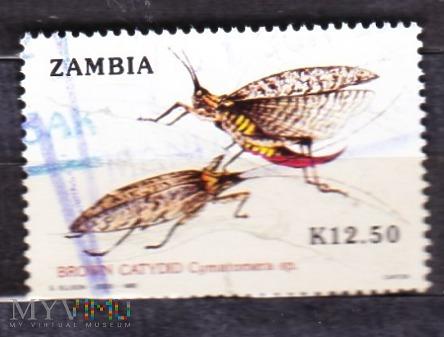Brown Catydid (Cymatomera sp.)