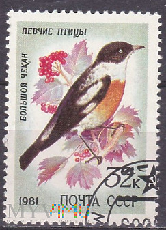 White-throated Bush Chat (Saxicola insignis)