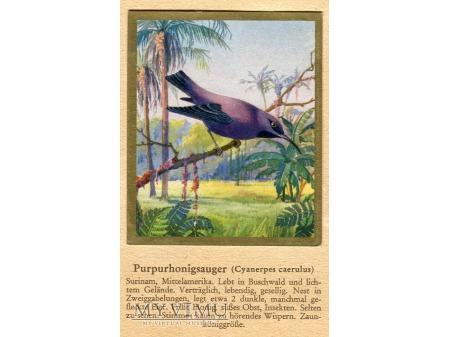 BŁĘKITNICZEK PURPUROWY Cyanerpes caerulus nr 47