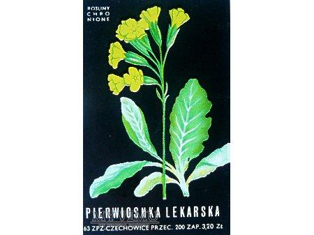 Duże zdjęcie PIERWIOSNKA LEKARSKA