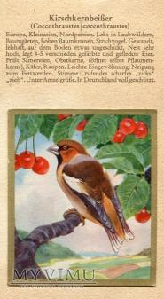 Duże zdjęcie GRUBODZIÓB Coccothraustes Coccothraustes Nr 105