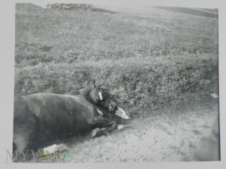 zabity koń w 1939