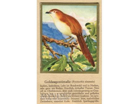 Duże zdjęcie TYMALIA CHIŃSKA Pyctorhis sinensis nr 36
