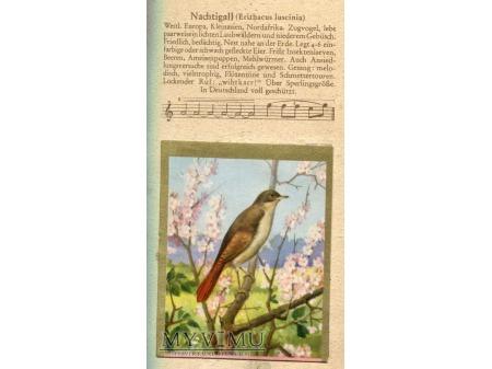 Duże zdjęcie SŁOWIK SZARY Luscinia luscinia Nachtigall 1