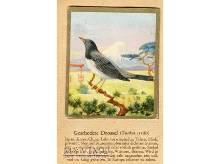 DROZD JAPOŃSKI Turdus cardis nr 16