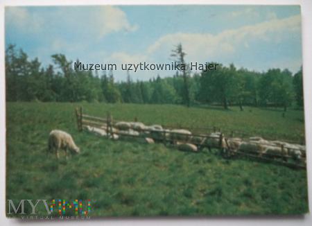 BESKID ŻYWIECKI Wypas owiec