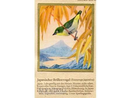 SZLARNIK JAPOŃSKI Zosterops japonica nr 52