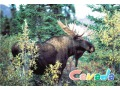 The Canadian moose