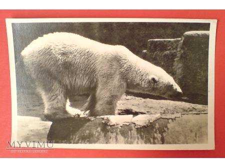 Warszawa ZOO Niedźwiedź polarny pocztówka