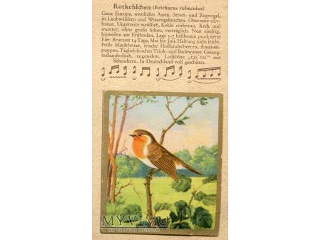 RUDZIK Erithacus rubeculus Rotkehlchen nr 3