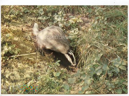 Białowieża - rezerwat Przyrody - Borsuk - 1981