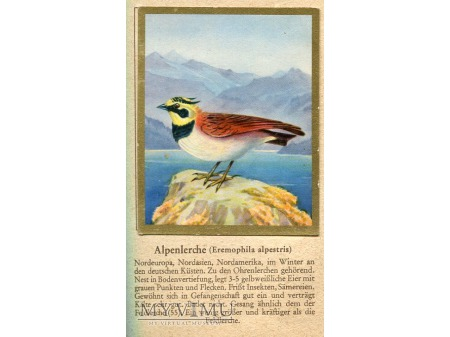 GÓRNICZEK Eremophila alpestris nr 54