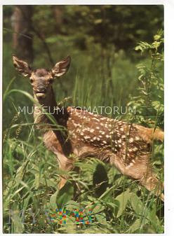 Białowieża - rezerwat Przyrody - Jelonek - 1981