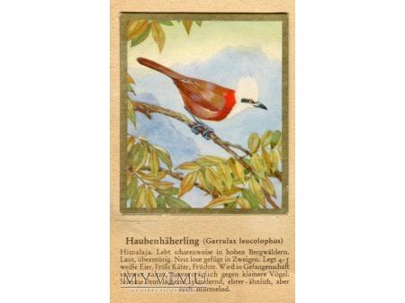 SÓJKOWIEC BIAŁOCZUBY Garrulax leucolophus nr 20