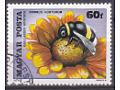 Garden Bumblebee (Bombus hortorum), Blanket Flower