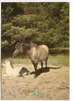 Białowieża - rezerwat Przyrody - Tarpan - 1981