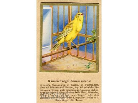 KANAREK Serinus canaria nr 95