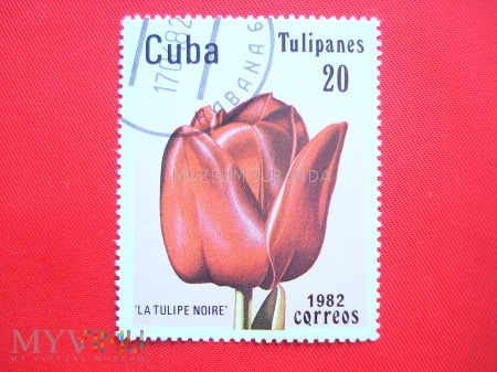 "Duże zdjęcie Tulipan ""La Tulipe noire"""