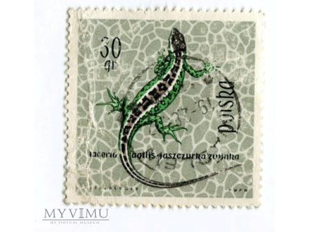 1963 jaszczurka zwinka Lacerta znaczek Polska
