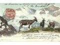 Szwajcaria - lodowiec - kozy - 1906 r.