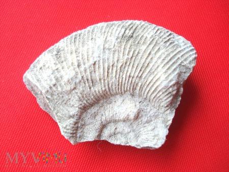 Fragment amonita 4