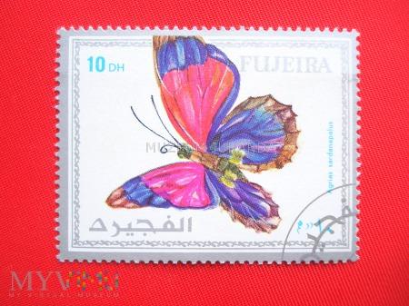 Motyl Agrias sardanapalus