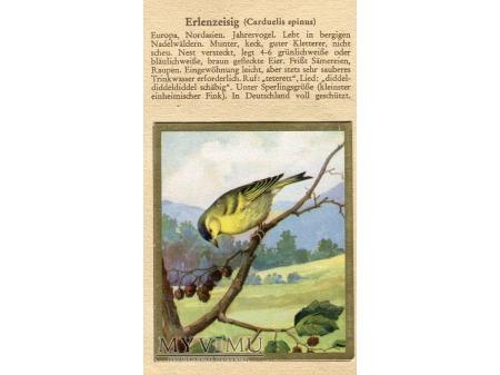CZYŻ Carduelis spinus nr 98