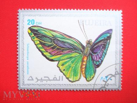 Motyl Schoenbergia paradisaea