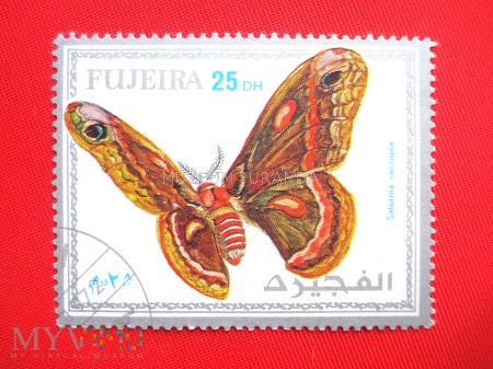 Motyl Saturnia cecropia