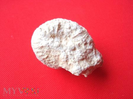 Duże zdjęcie Amonit 26