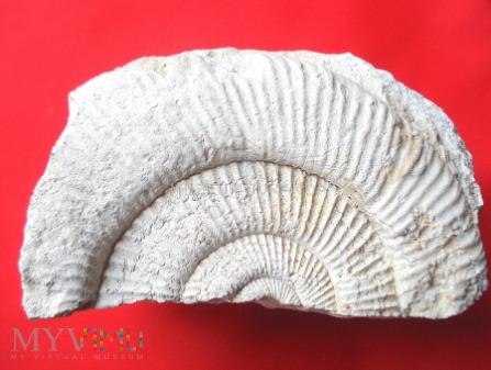 Fragment amonita 1
